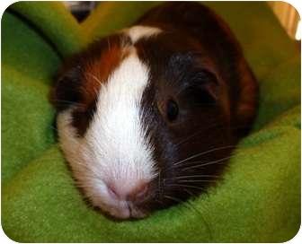 Guinea Pig for adoption in Phoenix, Arizona - Cathy