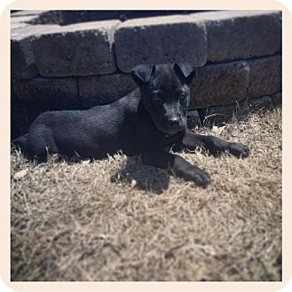 Shepherd (Unknown Type)/Labrador Retriever Mix Puppy for adoption in Marietta, Georgia - Mowgli Bee