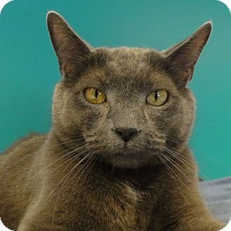 Domestic Shorthair Cat for adoption in Naperville, Illinois - Logan