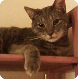 Domestic Shorthair Cat for adoption in Merrifield, Virginia - Pete