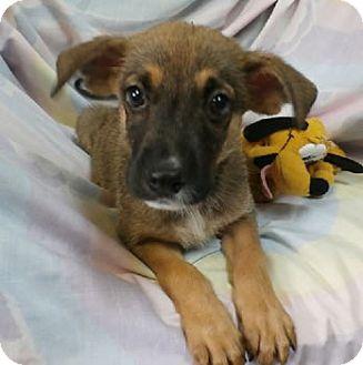 Shepherd (Unknown Type) Mix Puppy for adoption in Avon, New York - Coraline