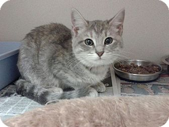 Domestic Shorthair Kitten for adoption in Flower Mound, Texas - Mariana