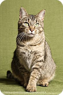 Domestic Shorthair Cat for adoption in Columbus, Ohio - Fianna