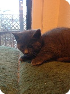 Russian Blue Kitten for adoption in Grand Junction, Colorado - Frost