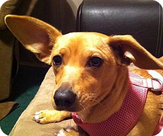 Chihuahua/Dachshund Mix Puppy for adoption in Norman, Oklahoma - Sadie