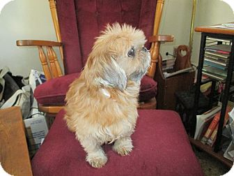 Shih Tzu Dog for adoption in Kendall, New York - Chloe