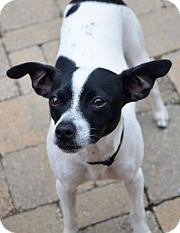 Rat Terrier/Boston Terrier Mix Dog for adoption in Chattanooga, Tennessee - Bodie
