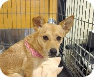 Rat Terrier Mix Dog for adoption in Las Vegas, Nevada - Chloe