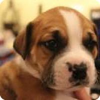 Adopt A Pet :: Baby Rooney - Marlton, NJ