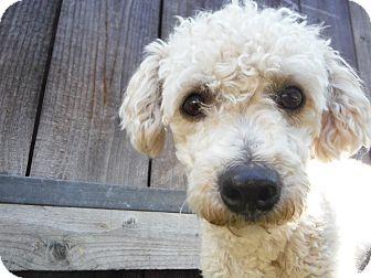 Poodle (Miniature)/Bichon Frise Mix Dog for adoption in Dublin, California - Finn