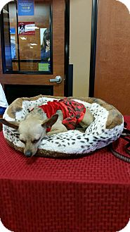 Chihuahua Mix Dog for adoption in San Pablo, California - Spider