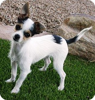 Wirehaired Fox Terrier/Chihuahua Mix Puppy for adoption in Gilbert, Arizona - Orlie
