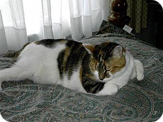 Domestic Shorthair Cat for adoption in Carlisle, Pennsylvania - CallieAnnCP