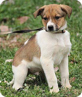 Australian Cattle Dog Mix Puppy for adoption in Allentown, Pennsylvania - Dylan