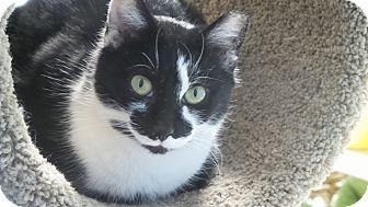 Domestic Shorthair Cat for adoption in Glen Mills, Pennsylvania - Sketchers