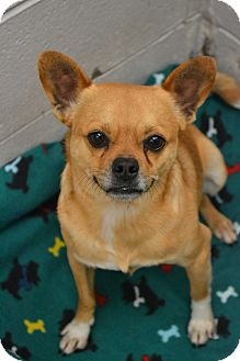 Pug/Chihuahua Mix Dog for adoption in Beaumont, Texas - Chug