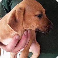 Adopt A Pet :: Rogue - Gainesville, FL
