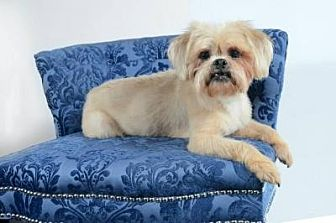 Lhasa Apso Mix Dog for adoption in Houston, Texas - Portland Cartwright