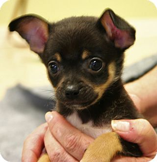 Chihuahua Mix Puppy for adoption in Hastings, Nebraska - Jimmie, Baby