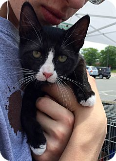 American Shorthair Kitten for adoption in Trenton, New Jersey - Olivia