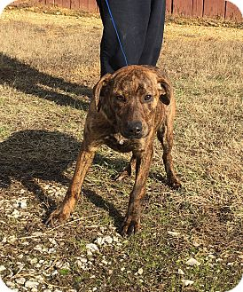 Plott Hound Mix Dog for adoption in Plainfield, Connecticut - Enne (last of the litter!!)