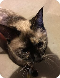 Siamese Cat for adoption in Greeley, Colorado - Nala