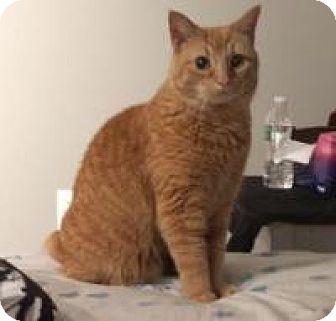 Domestic Shorthair Cat for adoption in Raritan, New Jersey - Nala