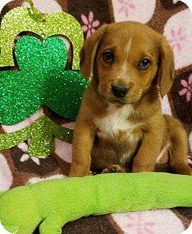 Beagle Mix Puppy for adoption in Elkton, Maryland - Ruby