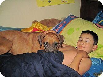 Boxer Dog for adoption in Houston, Texas - NITA