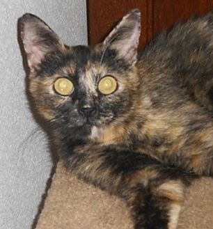 Domestic Shorthair Cat for adoption in North Highlands, California - Annapurna