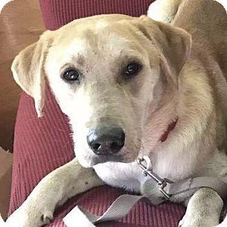Labrador Retriever Dog for adoption in Little Rock, Arkansas - Cornbread