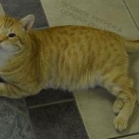 Domestic Shorthair/Domestic Shorthair Mix Cat for adoption in Oshkosh, Wisconsin - Morris