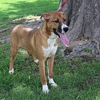 Adopt A Pet :: A05 Rose - Odessa, TX