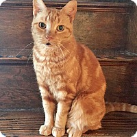Adopt A Pet :: Obi the Orange Angel - Brooklyn, NY