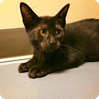 Domestic Shorthair Kitten for adoption in Chicago, Illinois - HoHo