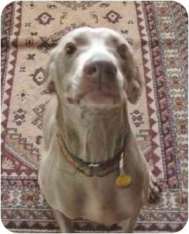Weimaraner Dog for adoption in Grand Haven, Michigan - Ricco