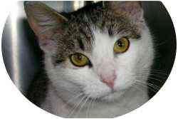 Domestic Shorthair Cat for adoption in Waynesburg, Pennsylvania - Isabella
