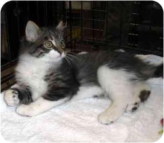Domestic Shorthair Kitten for adoption in Overland Park, Kansas - Nicholas