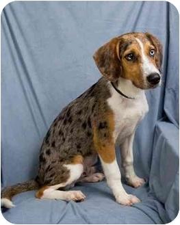Australian Shepherd/Beagle Mix Puppy for adoption in Anna, Illinois - SILAS