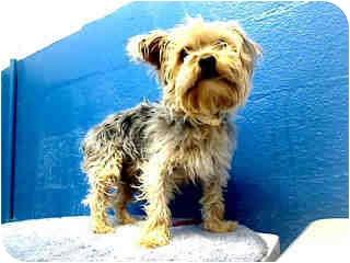 Yorkie, Yorkshire Terrier Mix Dog for adoption in Brookline, Massachusetts - Duke