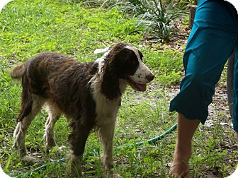 English Springer Spaniel Dog for adoption in Chiefland, Florida - Willow