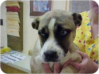 Husky/Boxer Mix Puppy for adoption in Burnsville, North Carolina - Sybil