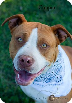 Pit Bull Terrier/Staffordshire Bull Terrier Mix Dog for adoption in Burleson, Texas - Copper