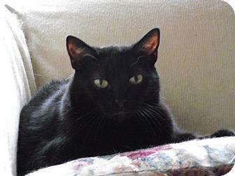 Domestic Shorthair Cat for adoption in Acushnet, Massachusetts - Kitten-Courtesy Post