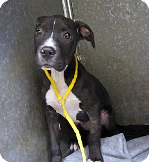 Pit Bull Terrier/Boxer Mix Puppy for adoption in Sidney, Ohio - Athena