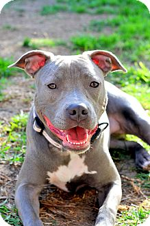 Pit Bull Terrier Mix Dog for adoption in Houston, Texas - Blueberry