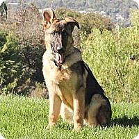 Adopt A Pet :: Enzo - Laguna Niguel, CA
