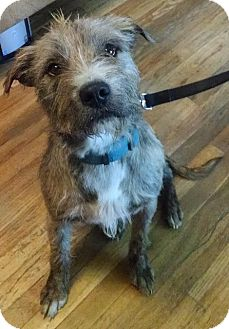 Terrier (Unknown Type, Medium) Mix Dog for adoption in Colorado Springs, Colorado - Scruffy