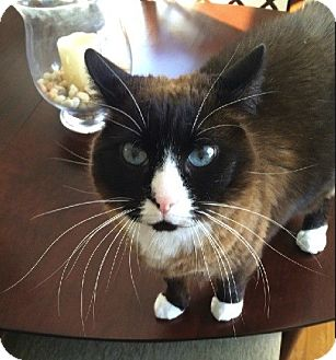 Snowshoe Cat for adoption in Weare, New Hampshire - Charlotte