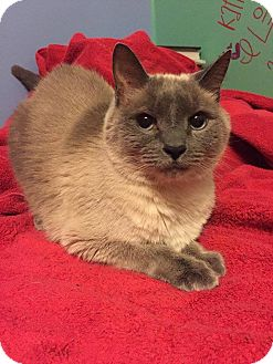Siamese Cat for adoption in Lebanon, Tennessee - Snickerdoodle